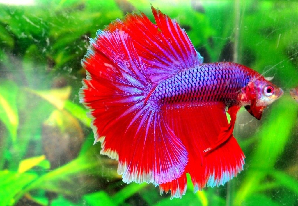 Blue halfmoon betta fish - photo#17
